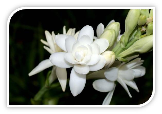 Biały kwiat tuberozy